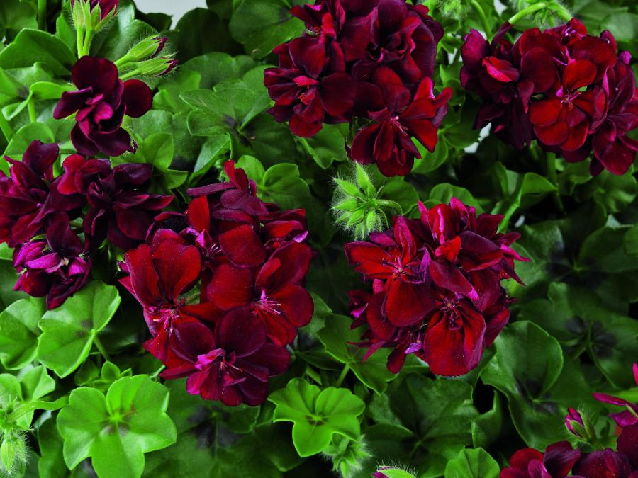 pelargonium graziosa� graziosa piccola� peltatum