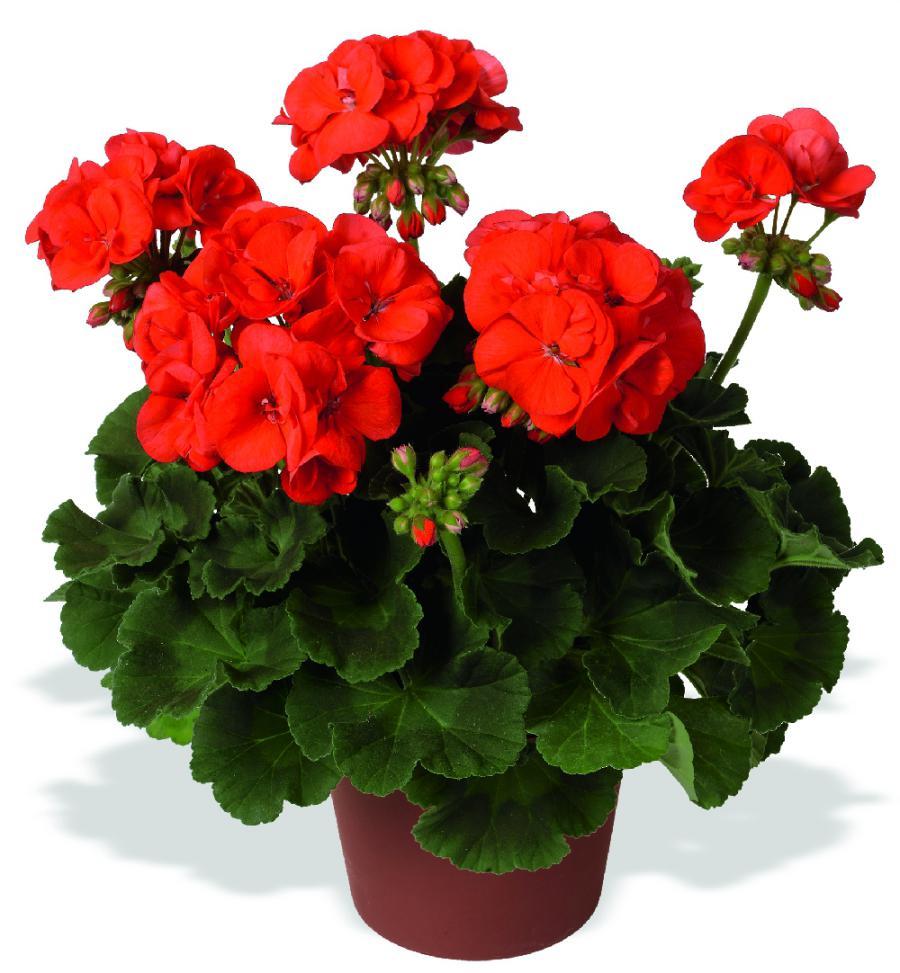 Anthony Red Rose Red Rose Babylon Be Still